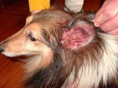 аллергия у собак на блох