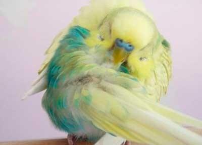 Попугай чистит перья