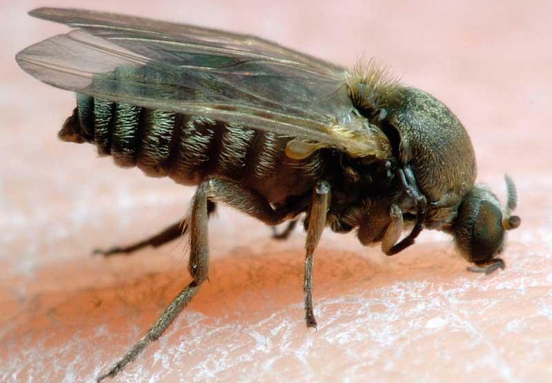 Аллергия на укус мошки: что делать, лечение отёка