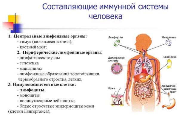 имунная система человека