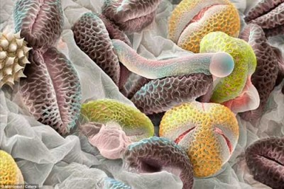Пыльца березы под микроскопом