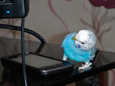 Домашний попугай