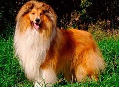 Длинношерстые собаки